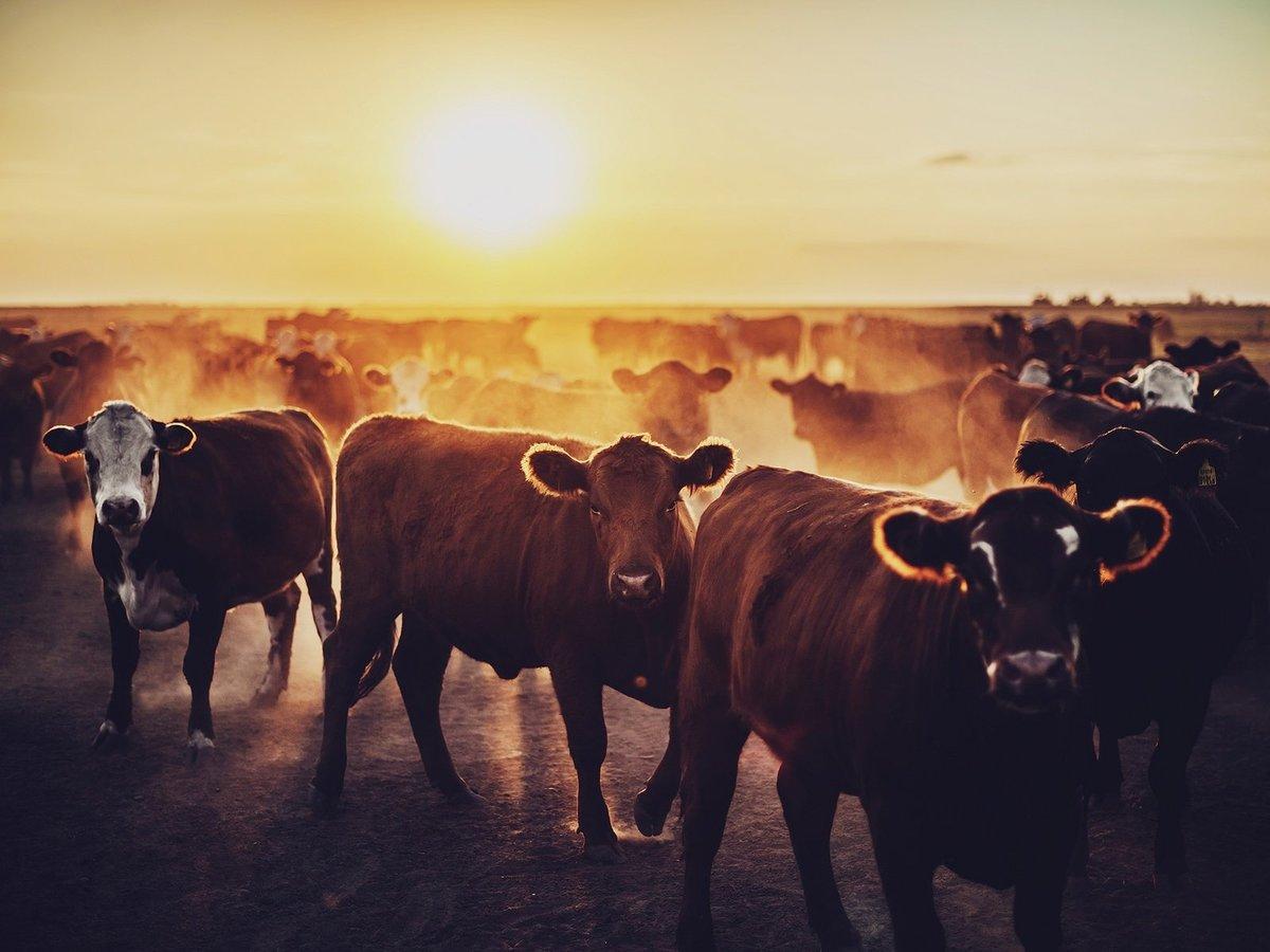 транспортная картинки стадо быков каждой женщине знакома