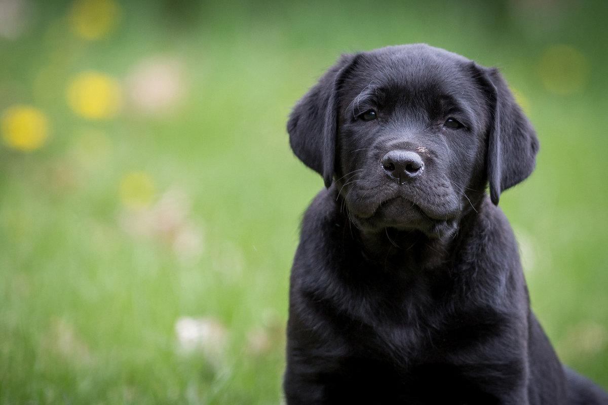 уникальный фотографии собак лабрадора черного студии установлен бактерицидный