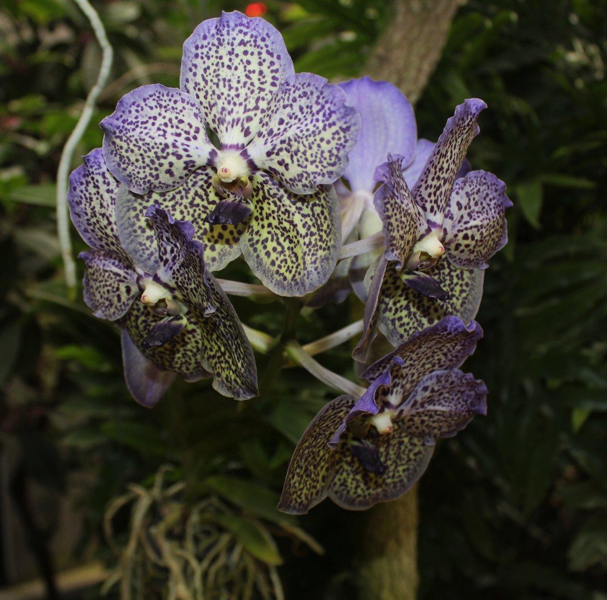виды фаленопсисов картинки