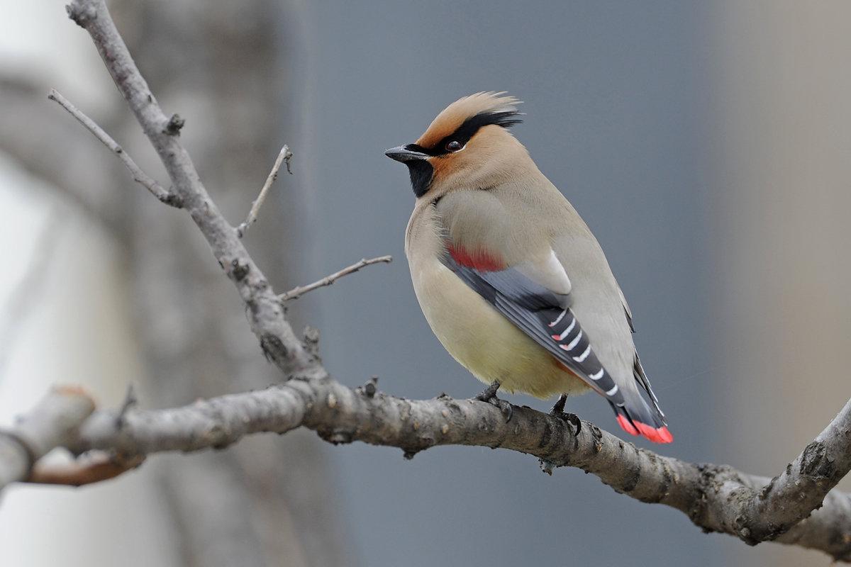 свиристель фото птицы зимой картинка убеждены, что