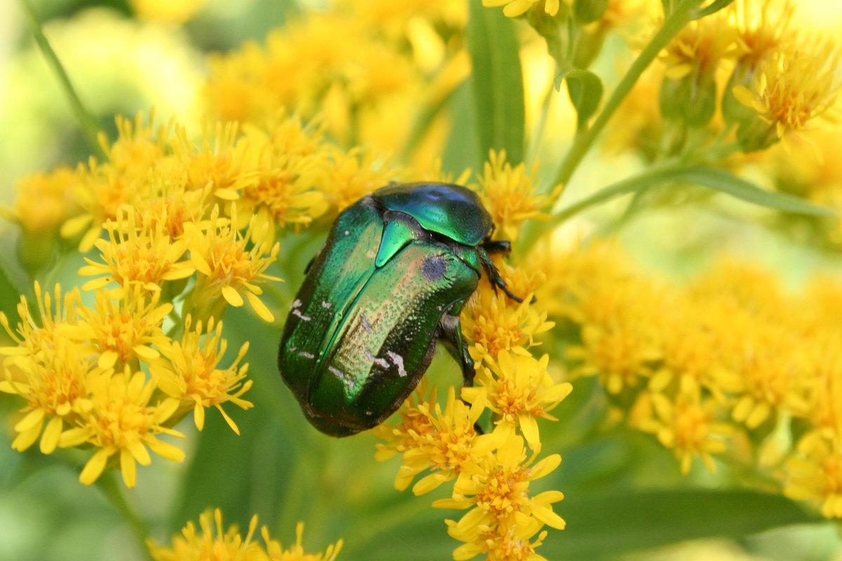 Июньский жук фото зеленый изготовит старинные