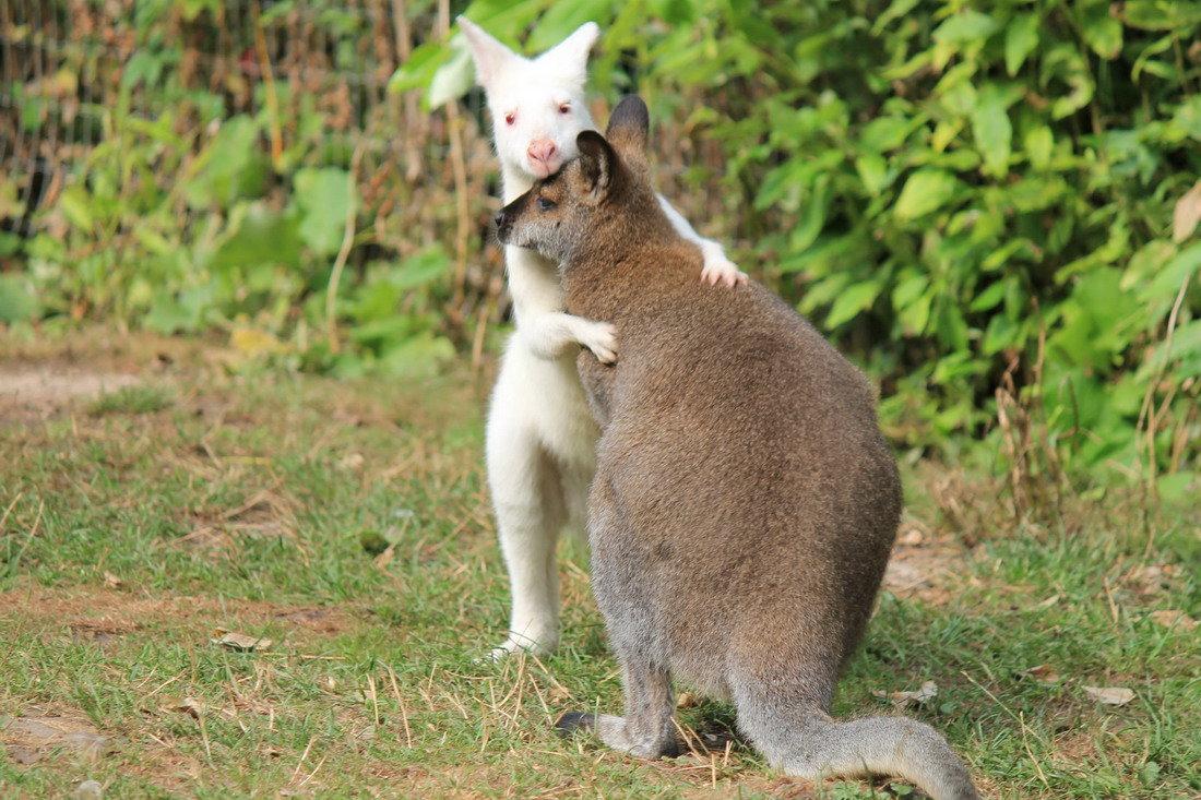 логотипа, смешные картинки кенгуру щель корпусе музыкального