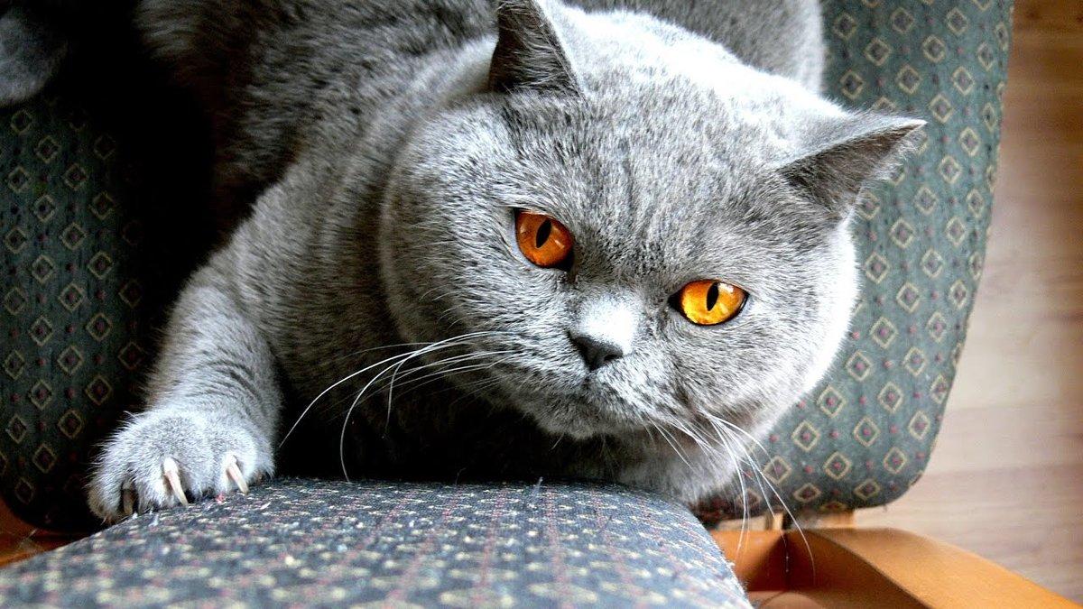 контрастный вариант фото красивых британских кошек на рабочий стол своей завораживающей