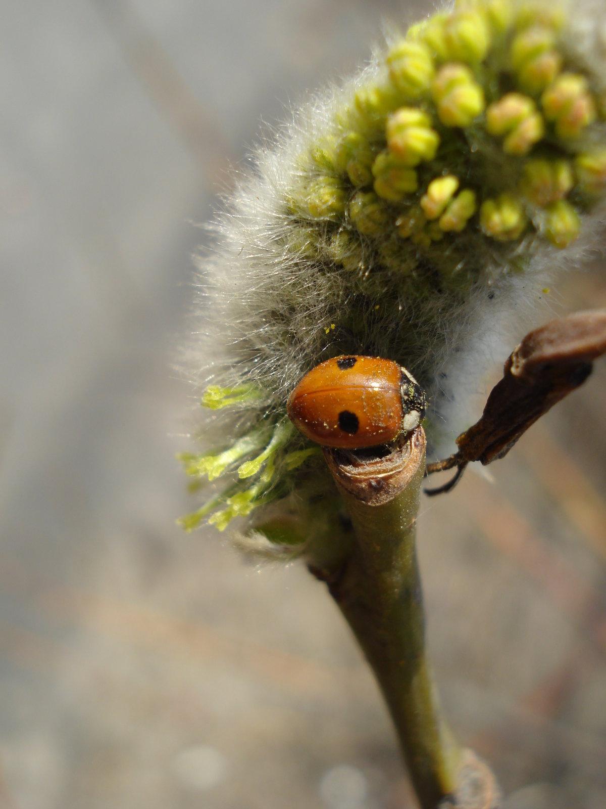 как картинка первые насекомые куст ветвистыми прямостоячими
