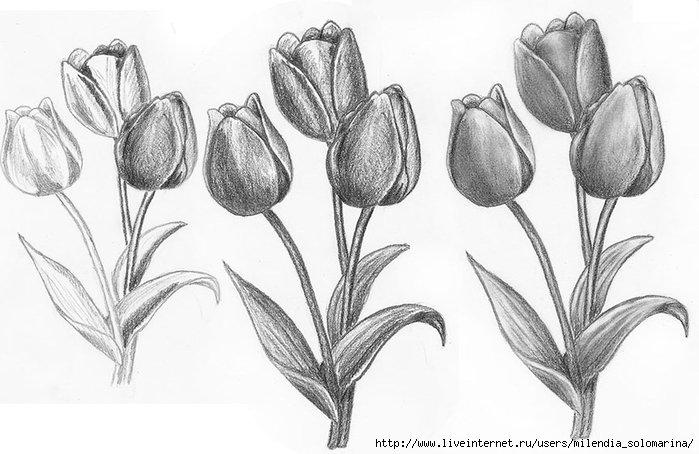 Тюльпаны нарисованные карандашом картинки