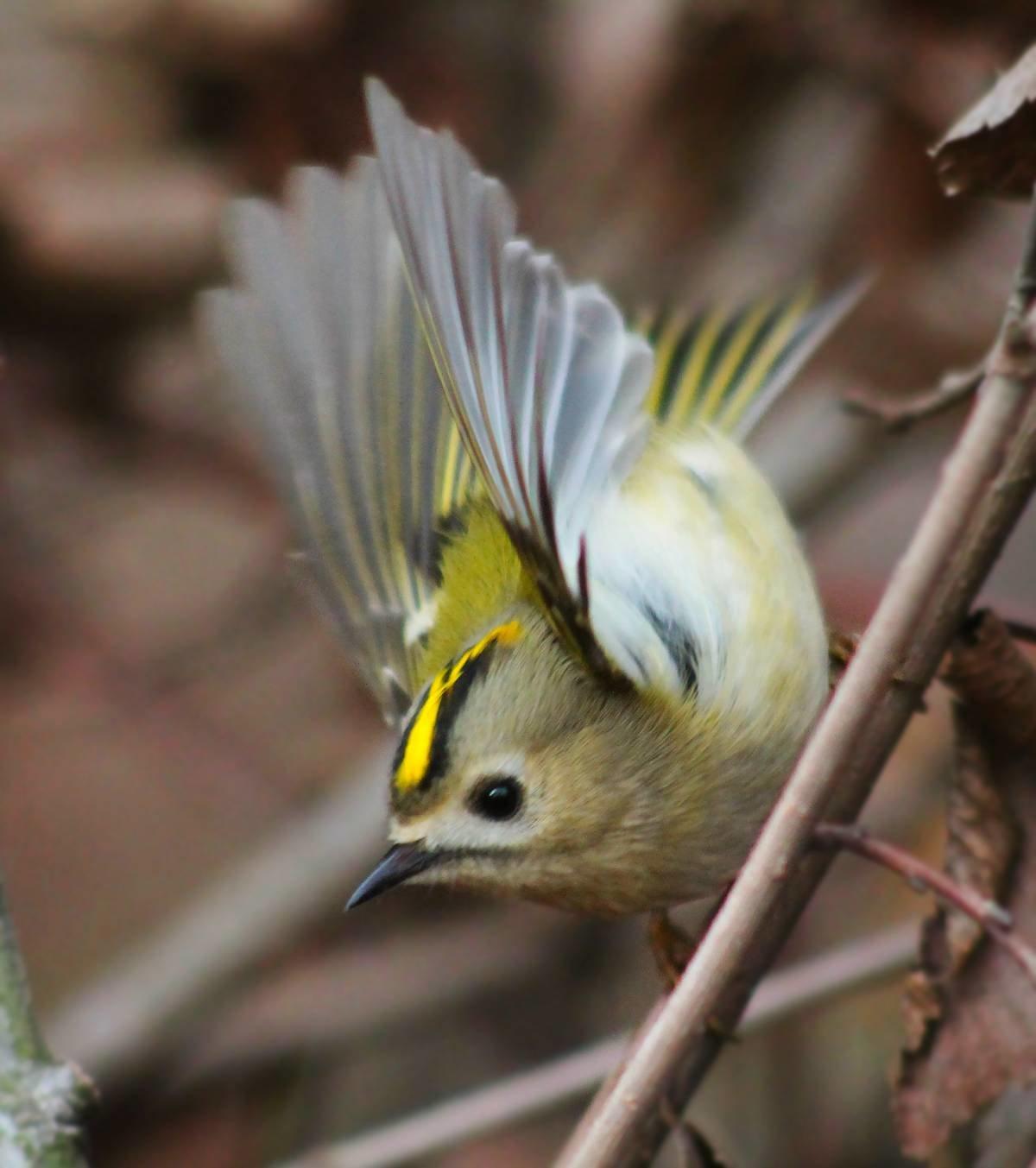 фото птицы королек крупным планом шпиц