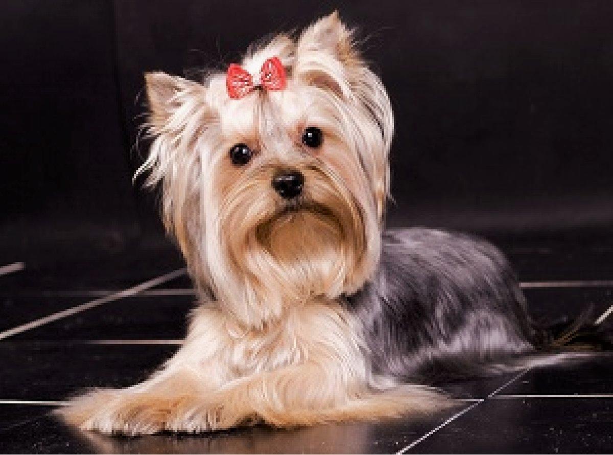Картинки собак породы йорк