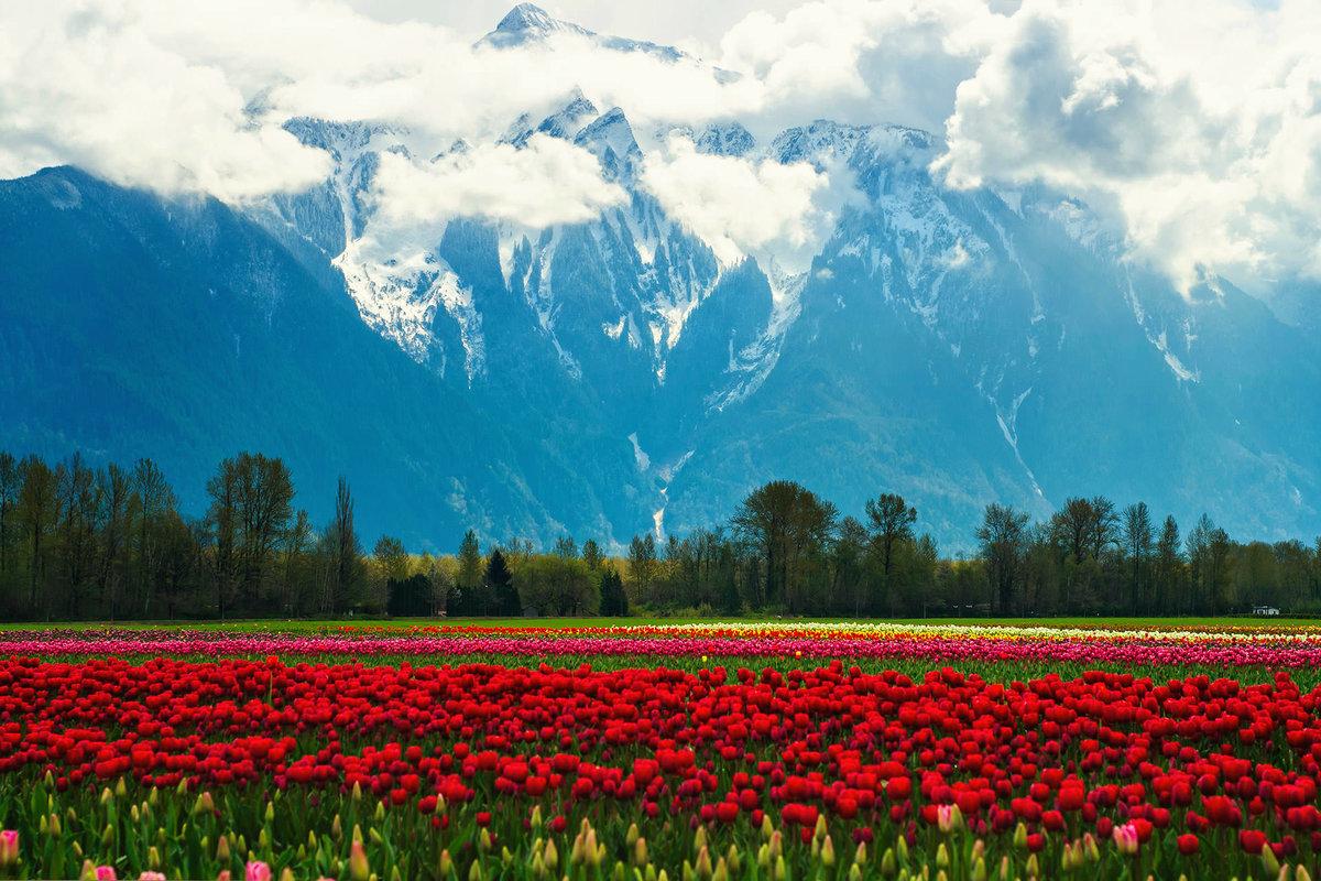 горные тюльпаны фото киргизия доминикане никак