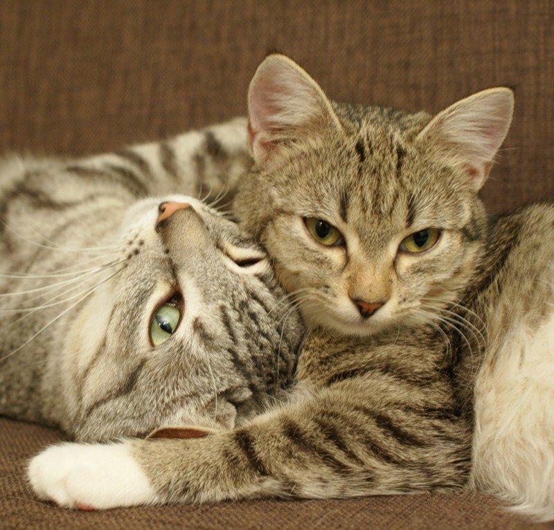 Любовь между котами картинки