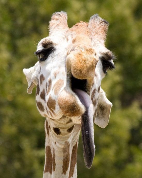 Прикольные картинки жирафом, день семьи