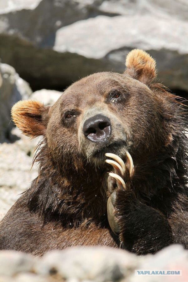 Мужу, очень смешные картинки с медведями