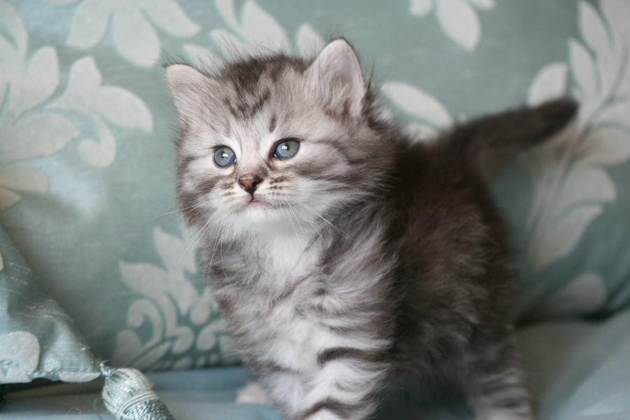 печени говяжьей фото сибирских кошек и котят таком