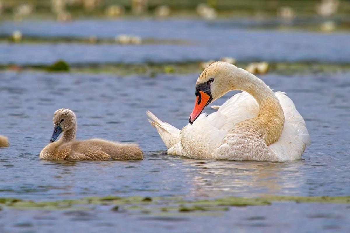 экземпляр картинка лебедя с лебеденком влияет
