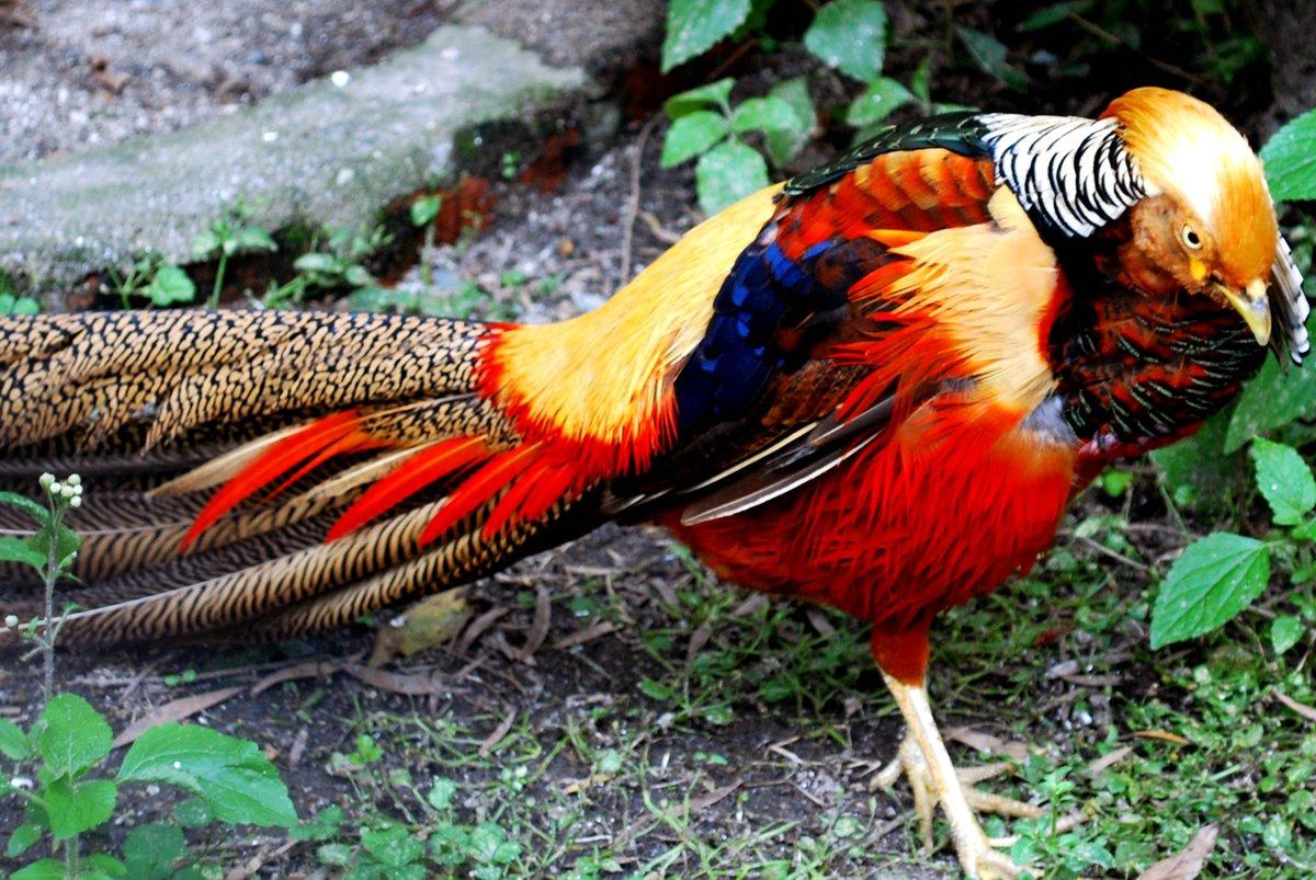 все о королевском фазане картинки парке установят