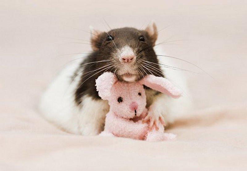 Открытка своими, картинки с крысой прикольные