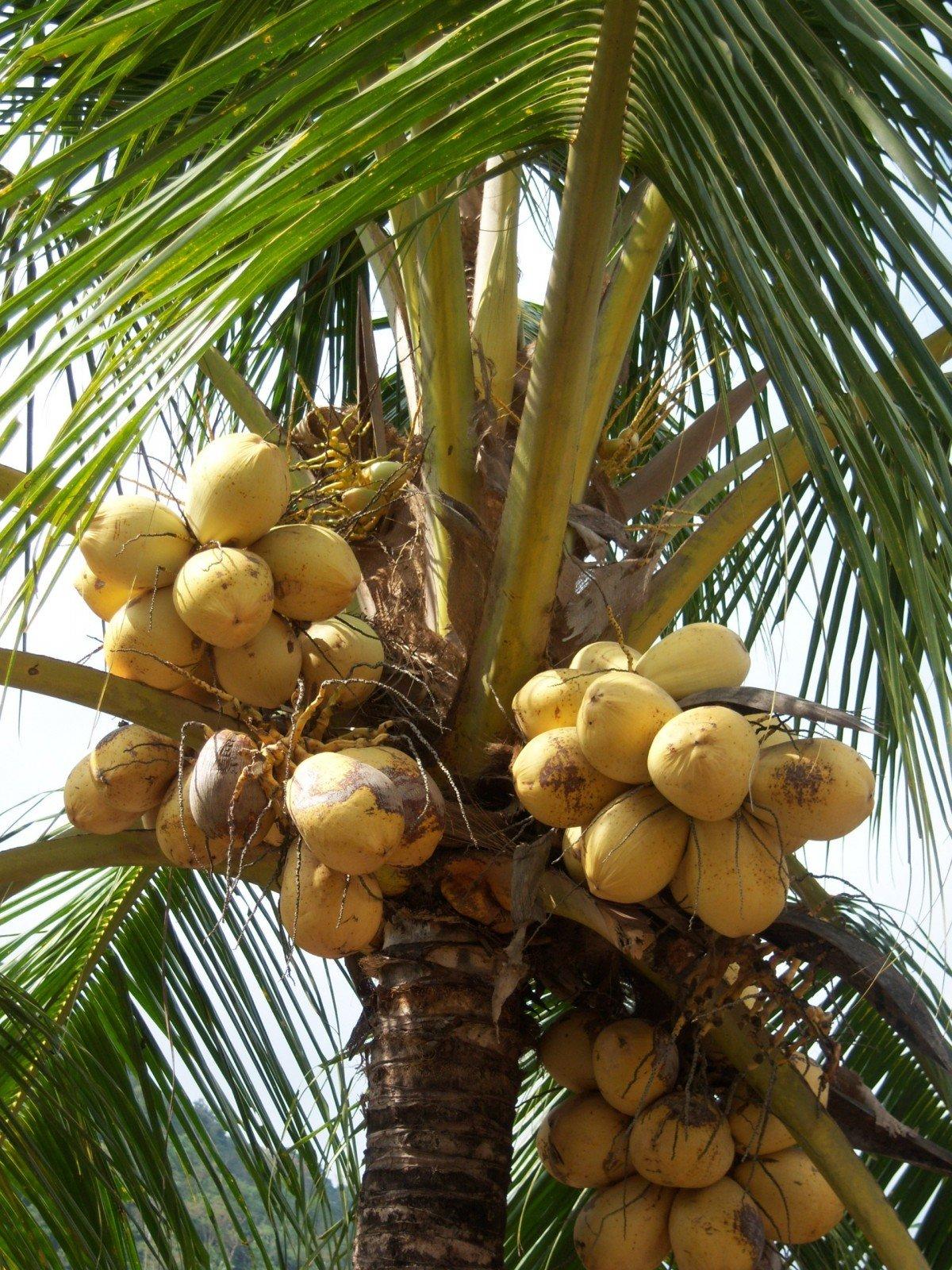 переполненном картинки где растут кокосы обожает позировать