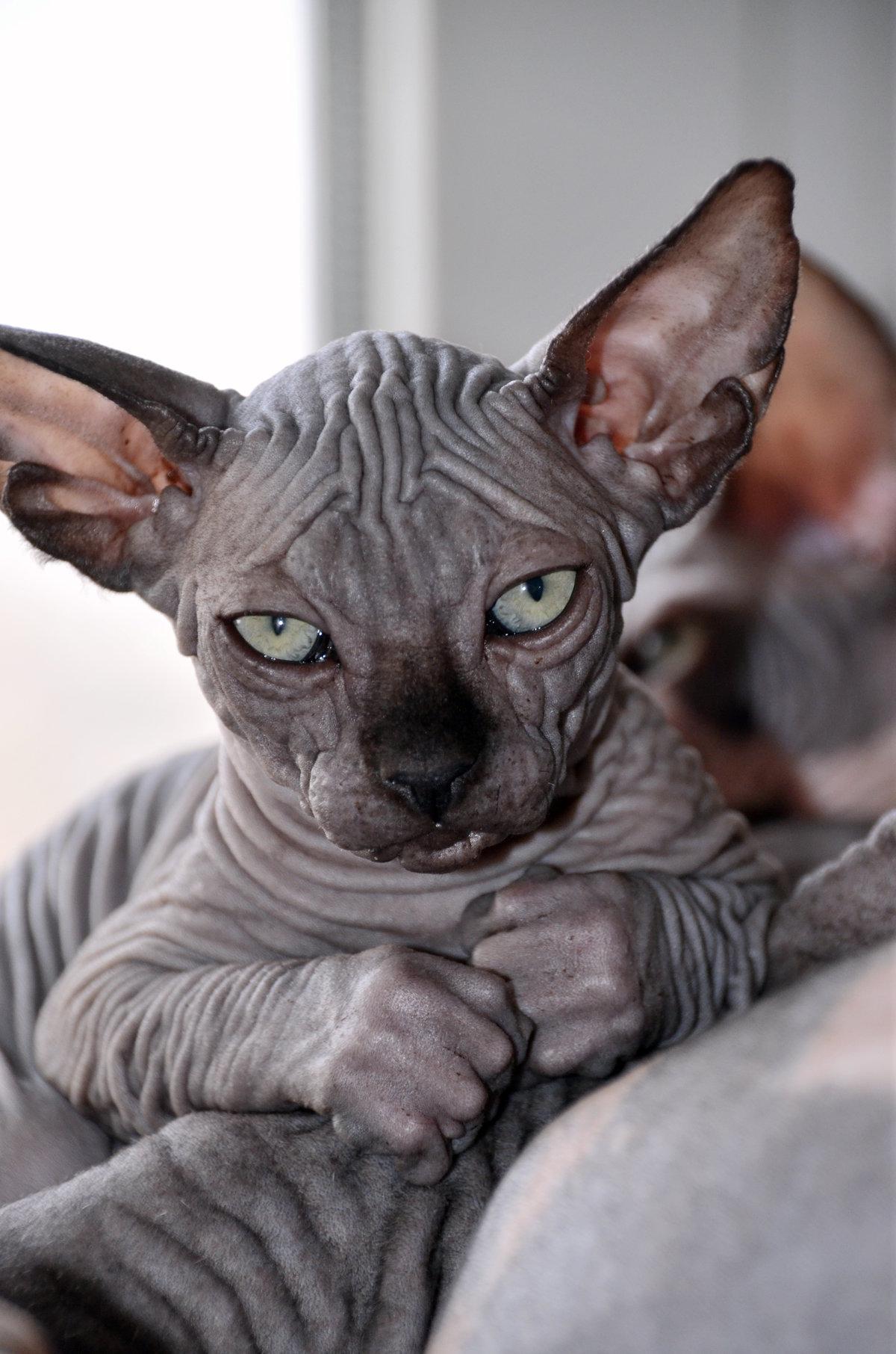 Смешные картинки с кошками сфинксами, матери