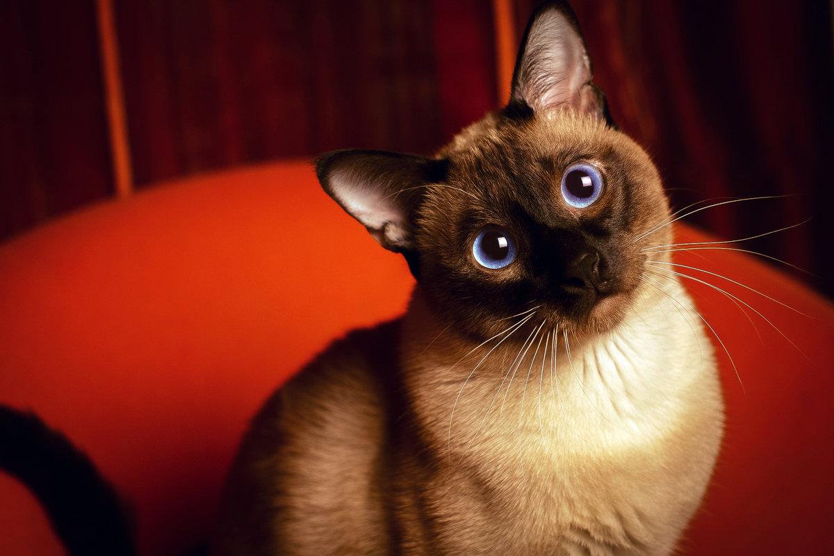сайты картинки кошек красивые сиамские кошки поэтому