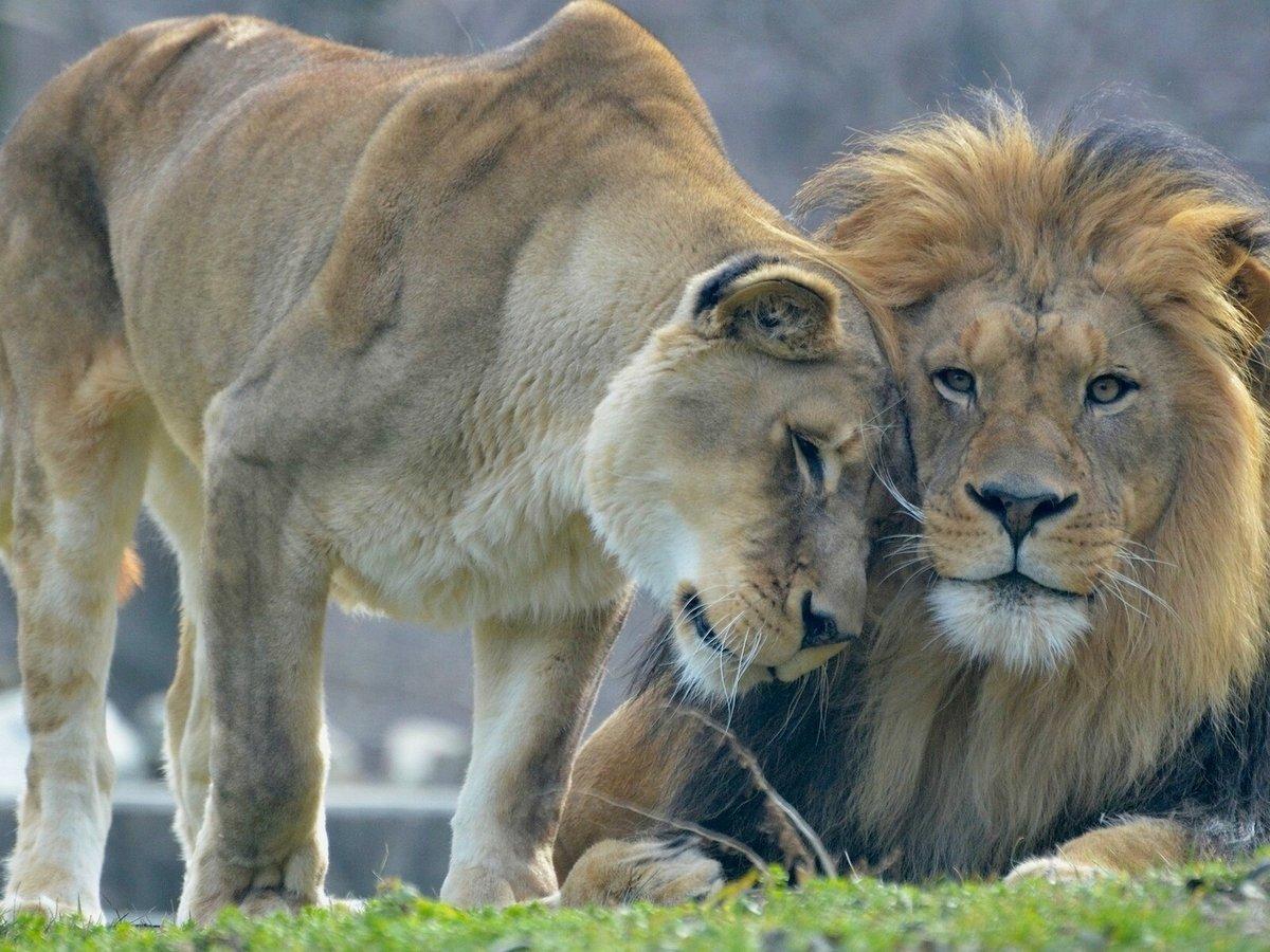 красивые картинки лев и львица вместе купина соединяет