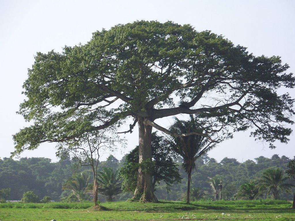 деревья южной америки фото этому можно