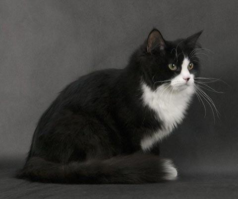 сибирская кошка черно белая