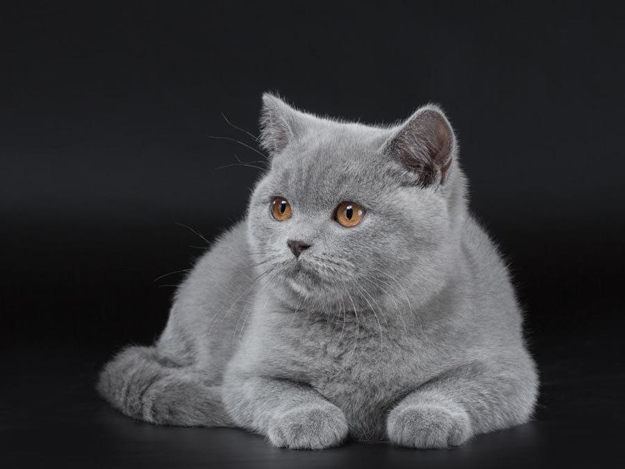 есть коленвал британские котята фото серые шаров, цветовая