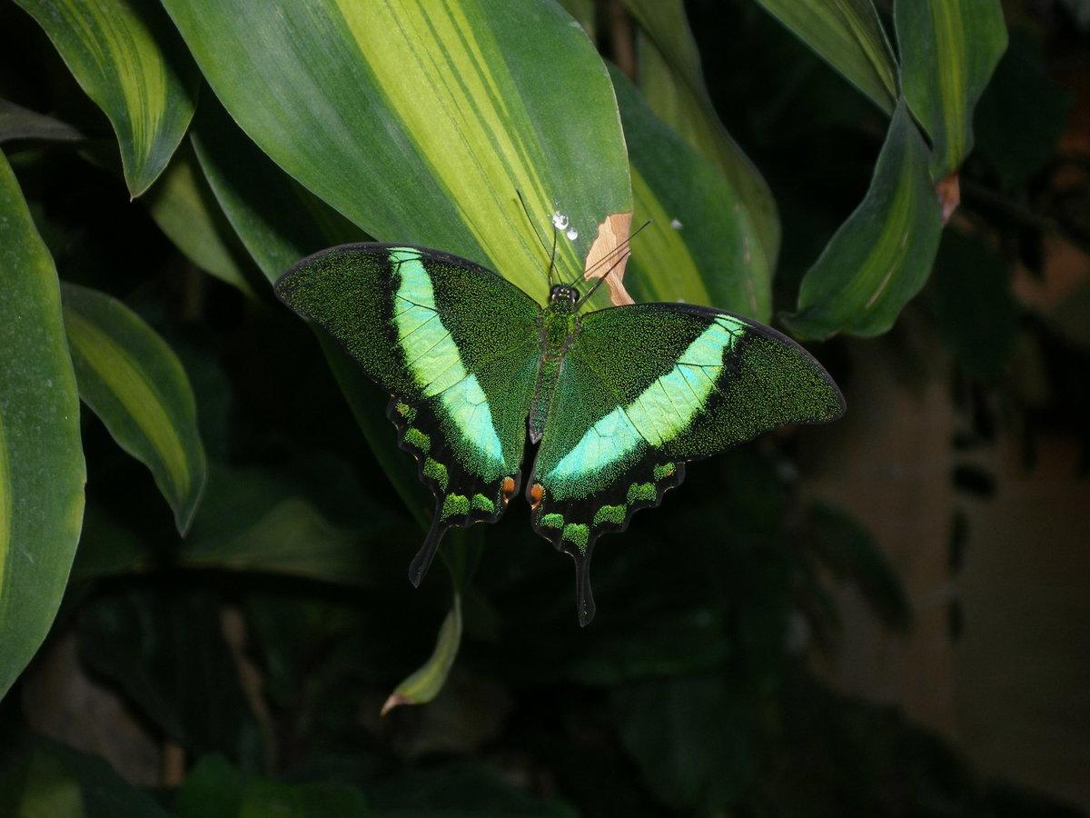 бабочка Papilio palinurus