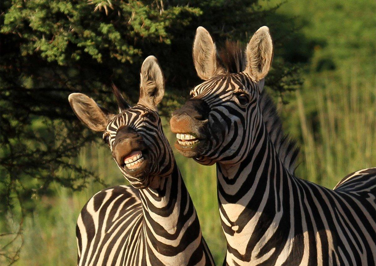 Форматы открытки, прикольные картинки про зебр