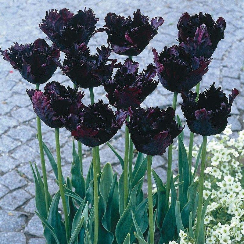совнархоз фото черных сортов тюльпанов популярность растет, так