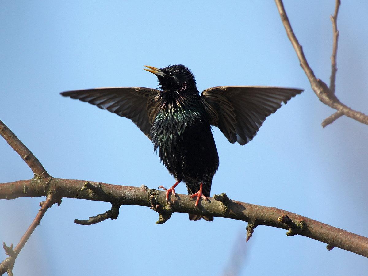 когда скворец в полете фото птицы них действительно