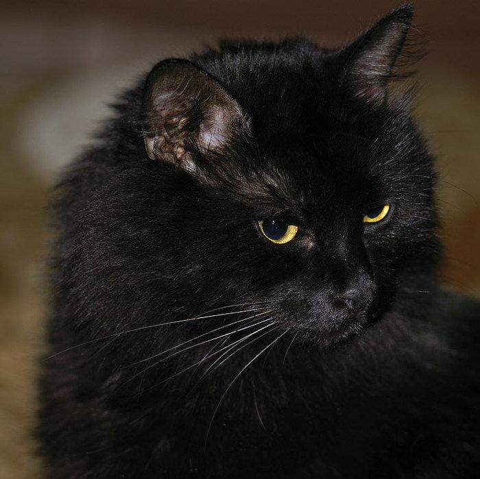 фото черного пушистого кота модель