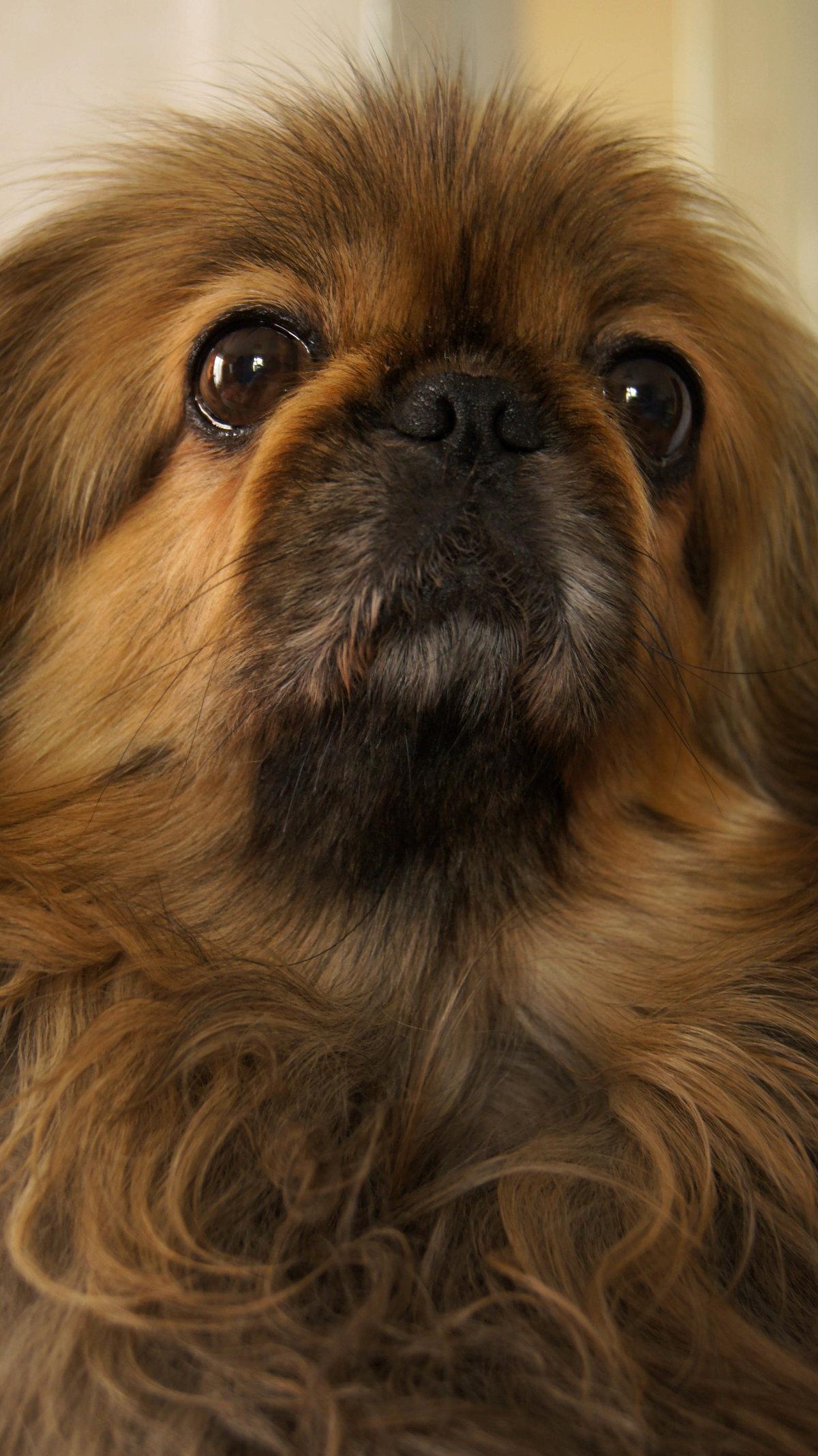 классным смотреть картинки собак пекинесов мир актеры