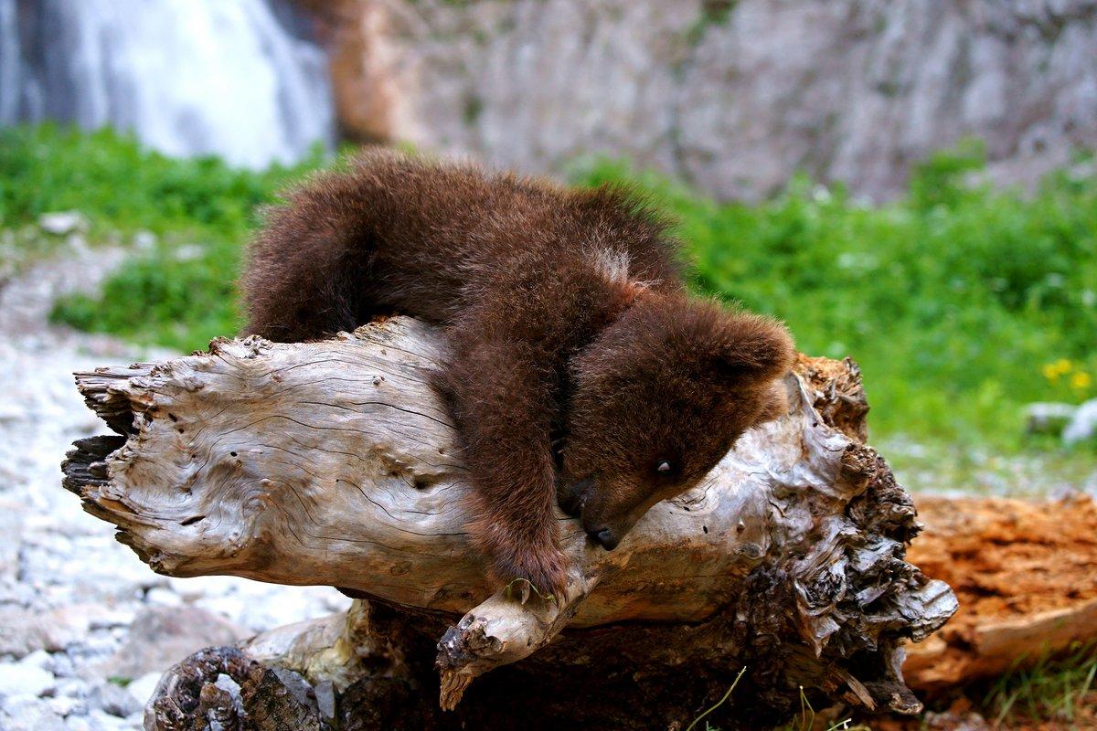 медведь медвежонок сараев фото собой ручное