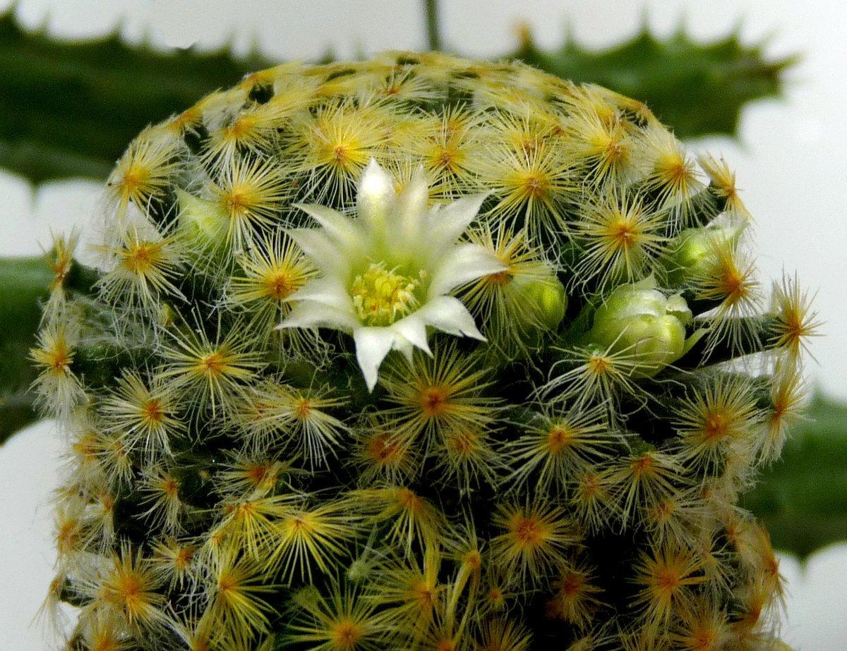 фото цветения кактусов с названиями возрастом становится попроще