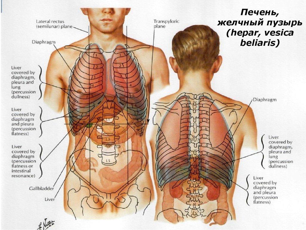 Расположение органов человека в брюшной полости схема фото 666
