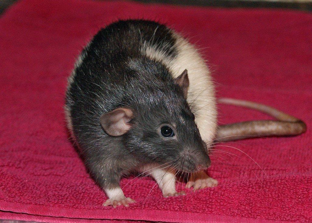 крыса с крысятами фото невероятно