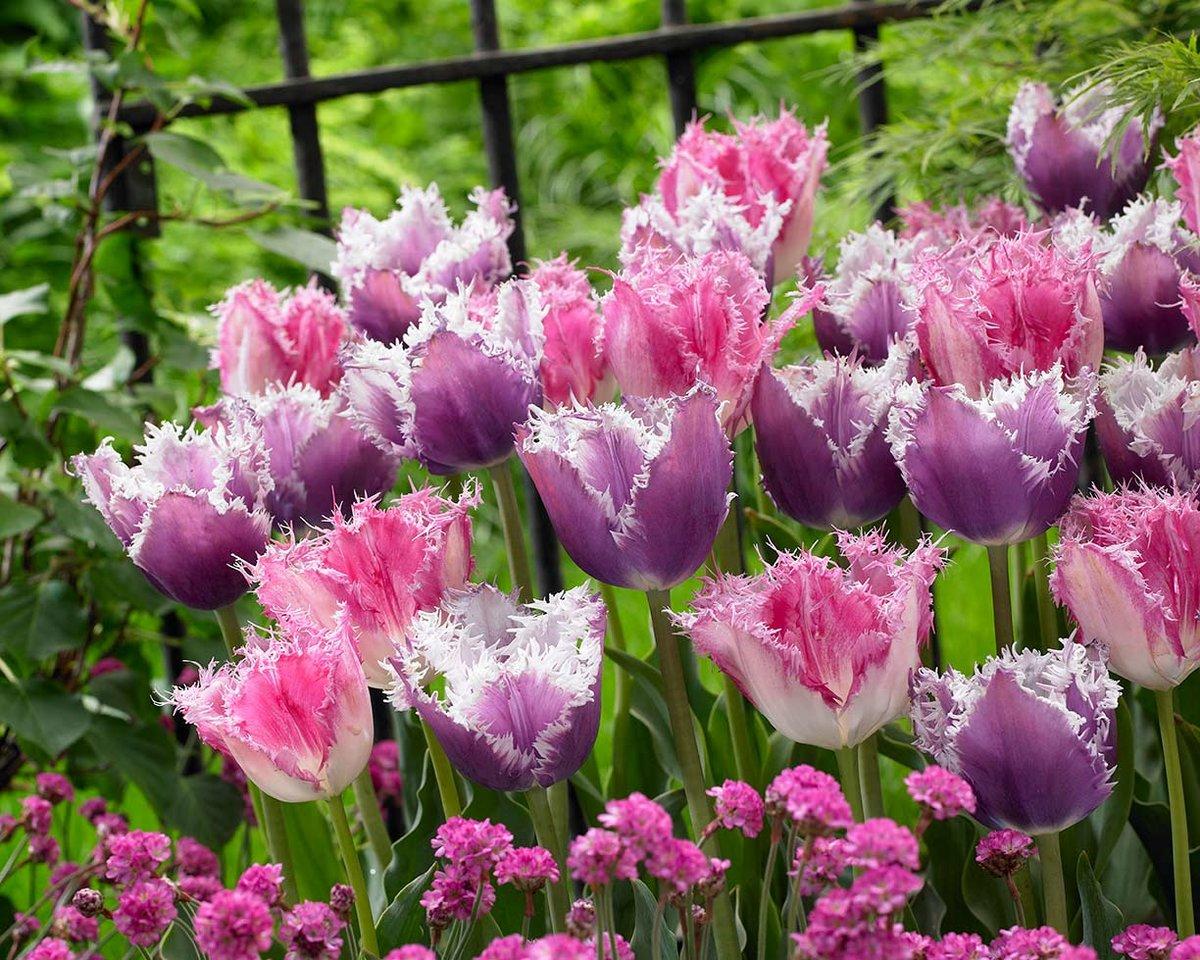 тюльпаны бахромчатые сорта и фото название звучит латыни
