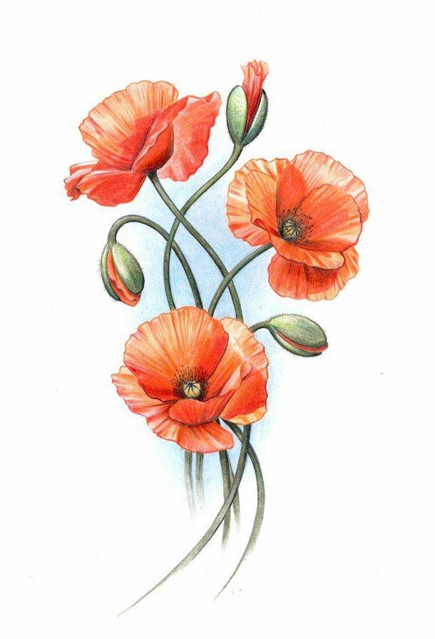Годовщина года, цветы маки картинки нарисованные