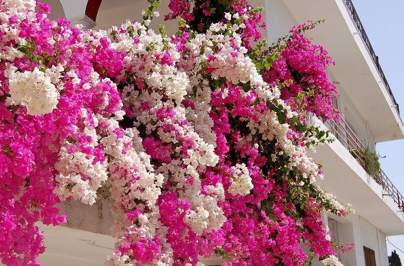 Цветы в испании розовые