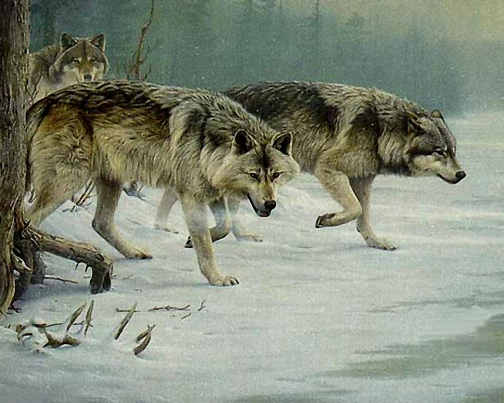 Волки на охоте картинка
