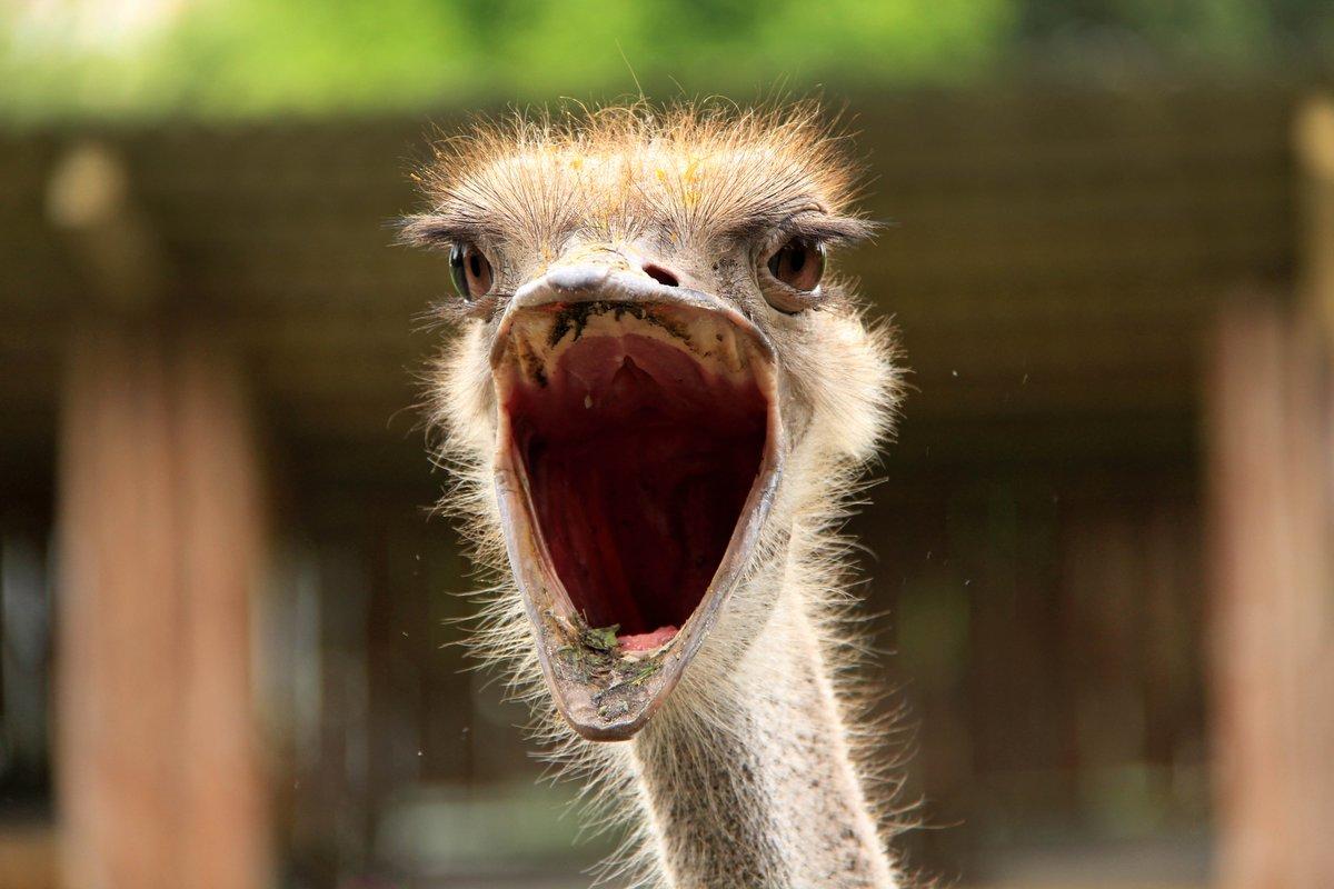 Прикол с картинками страуса