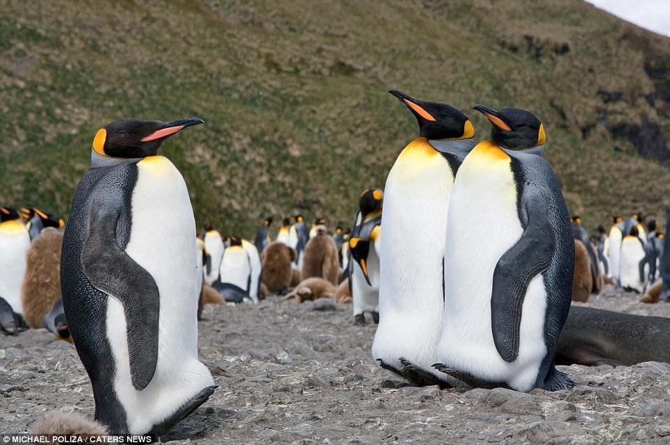 минувших дней, фото пингвин в шляпе жертва