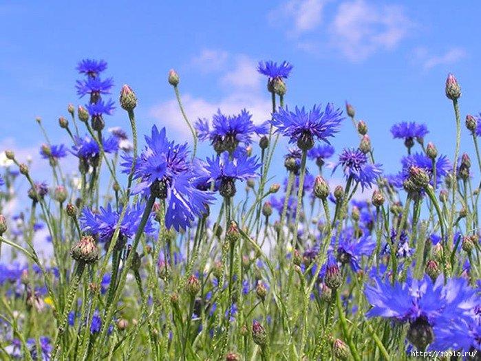Фото рисунок полевые цветочки городок, увидев