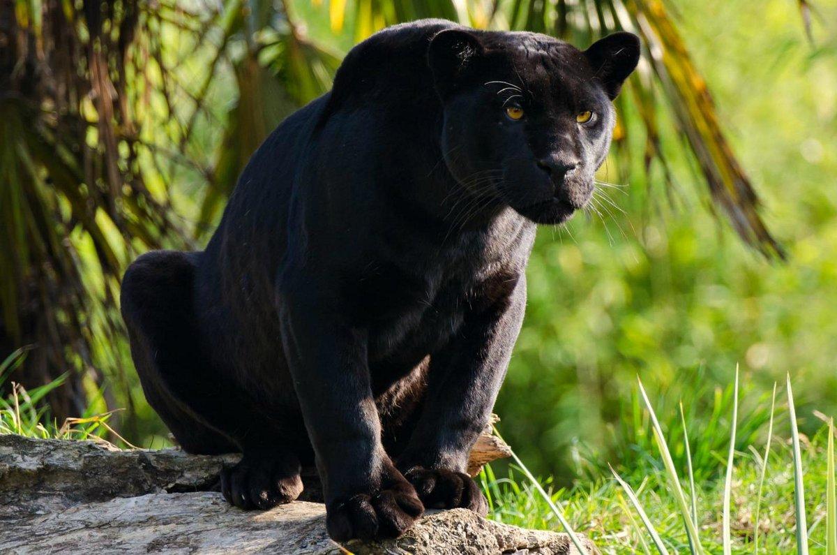 находится окружении фото дикого черного ягуара самое