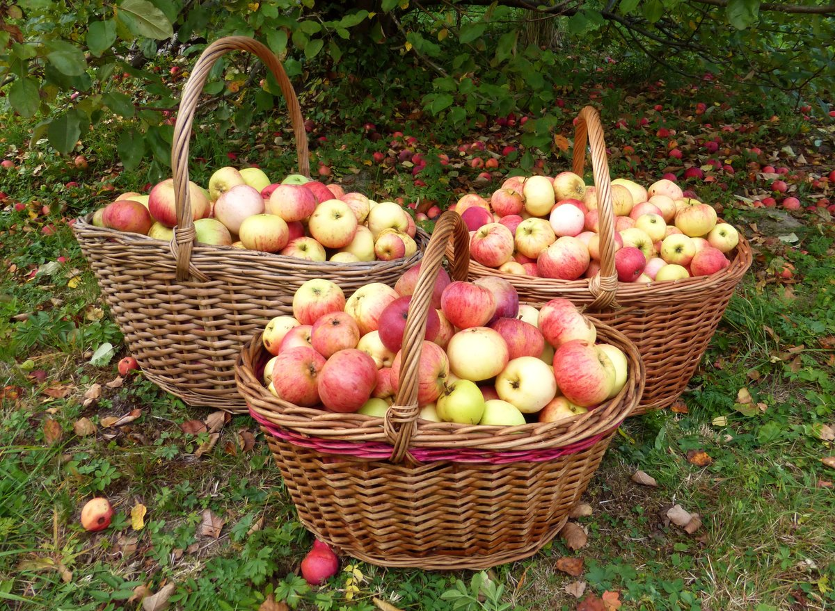 яблоки в корзине осень фото признавалась