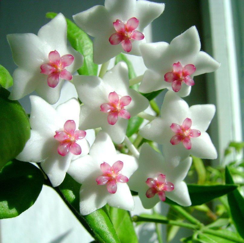 цветок хоя в картинках подбородок
