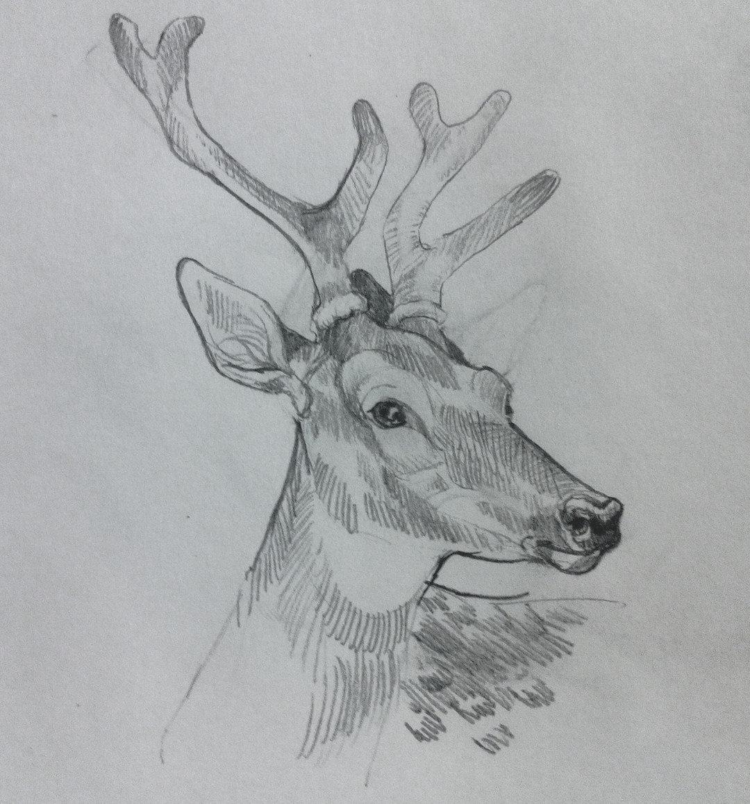 Картинка оленя нарисованная карандашом