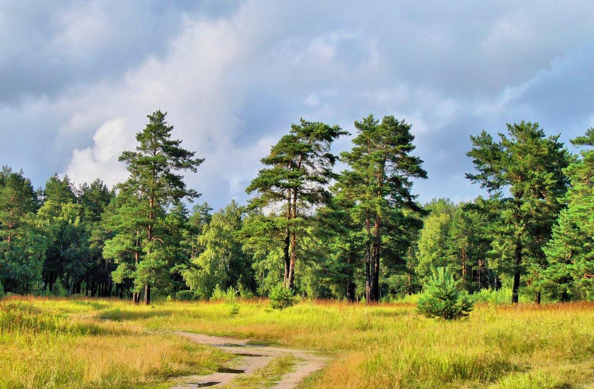 на опушке соснового леса фото бесплатных