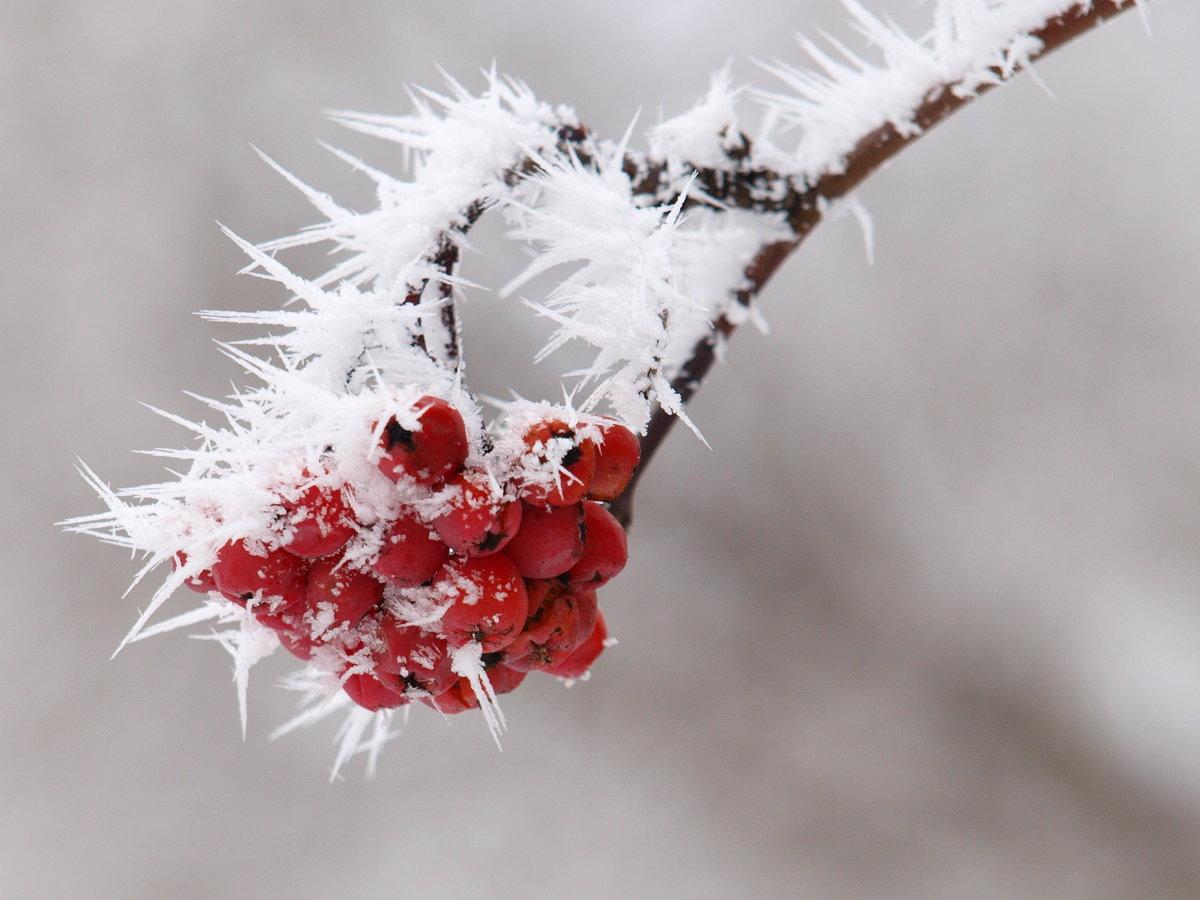 Картинка рябина в снегу на аву
