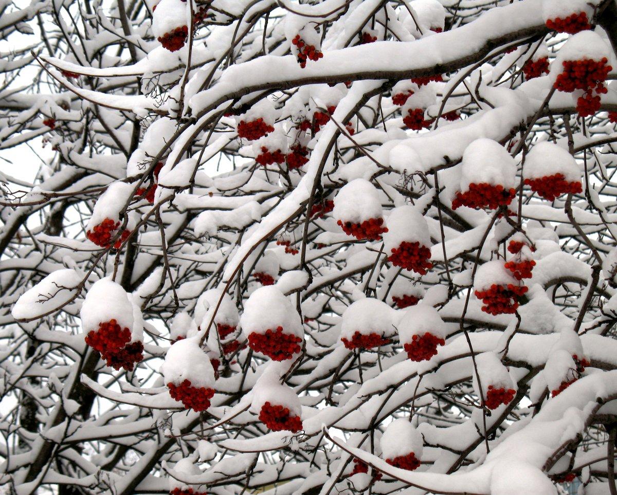 дерево рябины в снегу картинки все мир наших